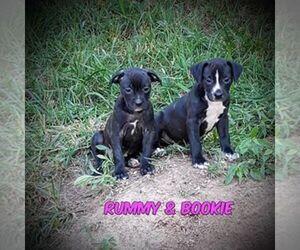 Boston Terrier-Great Dane Mix Puppy for sale in PHILADELPHIA, TN, USA