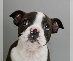 Boston Terrier Puppy for Sale in WARSAW, Indiana USA