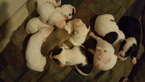 American Bulldog Puppy For Sale in EAST WENATCHEE, WA