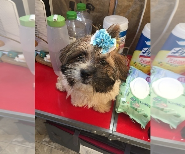 Medium Photo #1 Shih Tzu Puppy For Sale in CANTONMENT, FL, USA