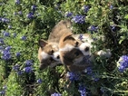 Pembroke Welsh Corgi Puppy For Sale in CASTROVILLE, Texas,