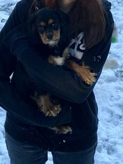 Cavalier King Charles Spaniel Puppy For Sale in CLATSKANIE, OR