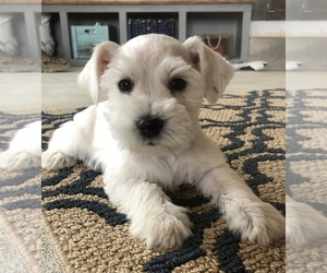 Schnauzer (Miniature) Puppy for sale in NEW CASTLE, IN, USA