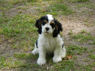 Cocker Spaniel Puppy For Sale in BEECH ISLAND, SC, USA