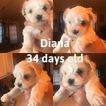 Maltese Puppy For Sale in DAWSONVILLE, GA, USA