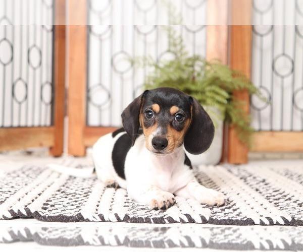 Medium Photo #1 Dachshund Puppy For Sale in NAPLES, FL, USA