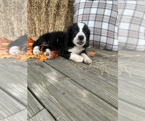 Bernedoodle Puppy for sale in HEMINGWAY, SC, USA