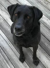 Black Lab7 yr old Female  adopt in Winterville NC