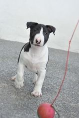 Miniature Bull Terrier Puppy For Sale in ROMA, TX