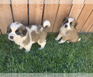Saint Bernard Puppy for sale in SAN BERNARDINO, CA, USA