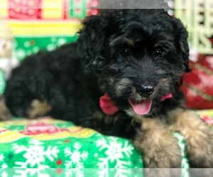 Bernedoodle Puppy for Sale in CLAY, Pennsylvania USA
