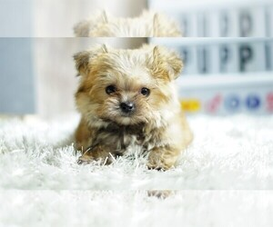 Yorkshire Terrier Puppy for Sale in FULLERTON, California USA