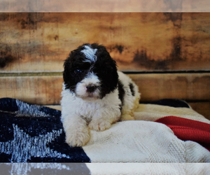 Labradoodle Puppy for sale in WALSTONBURG, NC, USA
