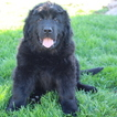 Newfoundland Puppy For Sale in GAP, PA