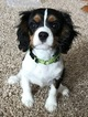 Cavalier King Charles Spaniel Puppy For Sale in ZIMMERMAN, MN, USA