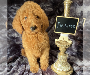 Goldendoodle Puppy for sale in HOUSTON, TX, USA
