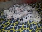 18 beautiful dal puppies