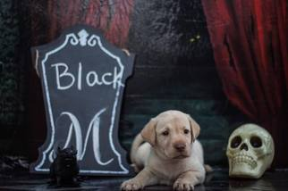 Labrador Retriever Puppy For Sale in MAYSVILLE, GA