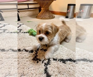 Morkie Puppy for sale in HOMER GLEN, IL, USA