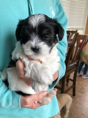 Coton de Tulear Puppy For Sale in MEMPHIS, IN, USA