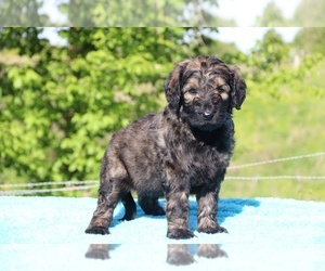 Goldendoodle Puppy for sale in UNION CITY, TN, USA