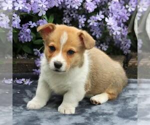 Pembroke Welsh Corgi Puppy for sale in EAST EARL, PA, USA