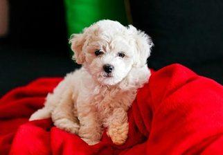 Bichon Frise Puppy for sale in FREE UNION, VA, USA