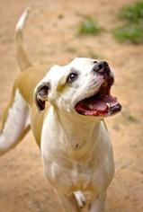 Daisy - American Bulldog / American Staffordshire Terrier / Mixed Dog For Adoption