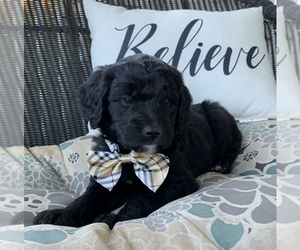 Goldendoodle Puppy for sale in MAGNET COVE, AR, USA