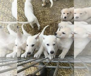 German Shepherd Dog Puppy for sale in HARPER, IA, USA