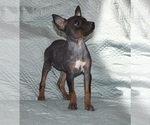 Puppy 2 American Hairless Terrier