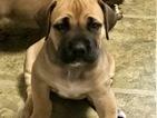 Puppy 1 Boerboel