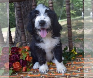 Bernedoodle Puppy for Sale in CABOOL, Missouri USA