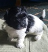 Havanese Puppy For Sale in COEUR D ALENE, ID
