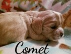 Cocker Spaniel Puppy For Sale in ALFORD, IN, USA