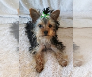 Yorkshire Terrier Dog for Adoption in CORNERSVILLE, Tennessee USA