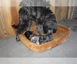 Mother of the Aussie-Poo puppies born on 01/30/2021