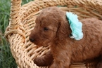 Cream Apricot Standard Poodle Puppies