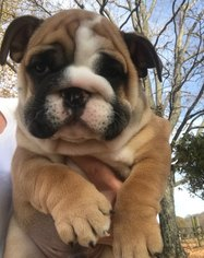 English Bulldogge Puppy For Sale in SUMMER SHADE, KY, USA