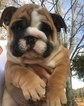Puppy 4 English Bulldogge