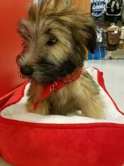 Soft Coated Wheaten Terrier Puppy for sale in FORT LAUDERDALE, FL, USA