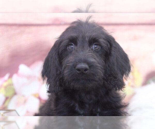 Medium Photo #2 Labradoodle Puppy For Sale in MARIETTA, GA, USA