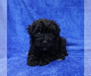 Aussie-Poo Puppy for sale in CLEARWATER, FL, USA