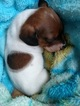 Dachshund Puppy For Sale in MARYSVILLE, WA, USA