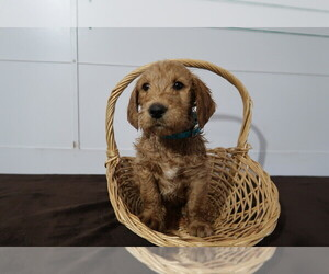 Labradoodle Puppy for sale in LOUISVILLE, KY, USA