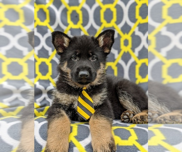 Medium Photo #5 German Shepherd Dog Puppy For Sale in NEW PROVIDENCE, PA, USA