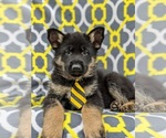 Small Photo #5 German Shepherd Dog Puppy For Sale in NEW PROVIDENCE, PA, USA