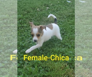 Foxy Rat Terrier-Jack Russell Terrier Mix Dog for Adoption in MEMPHIS, Michigan USA