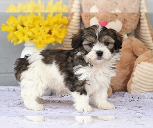 Havanese Puppy for sale in FREDERICKSBG, OH, USA