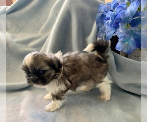 Mal-Shi Puppy for sale in PLACERVILLE, CA, USA